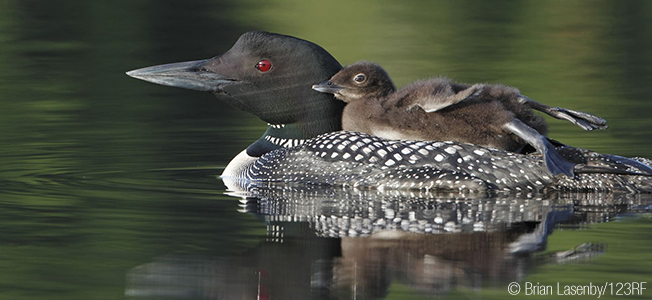 Sticky_Common Loon and Chick (Brian Lasenby 123RF)-1